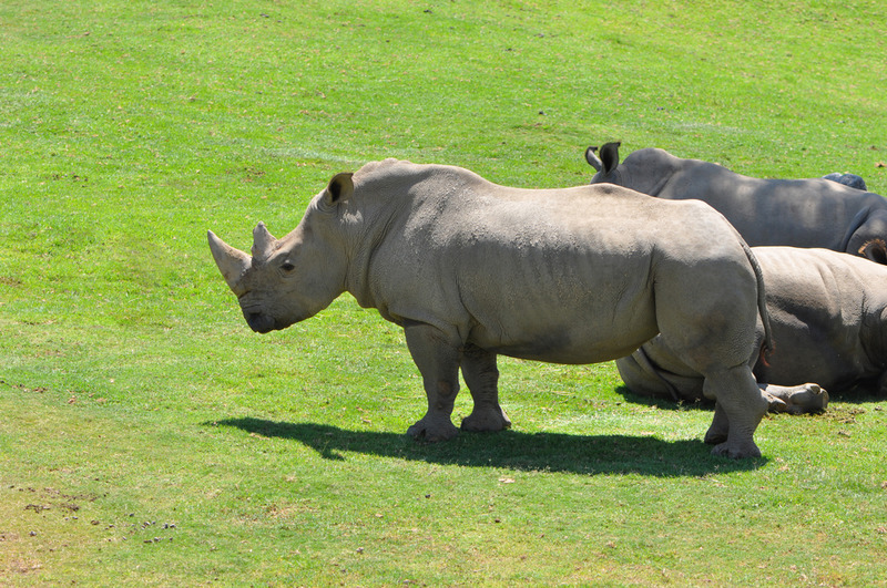 white rhino extinction