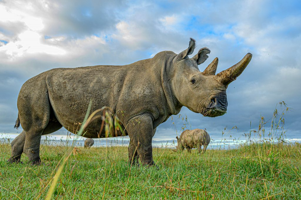 Male Northern White Rhino Extinct